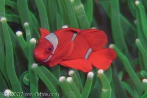 spinecheek_anemonefish-d